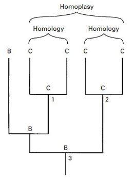 homoplasy